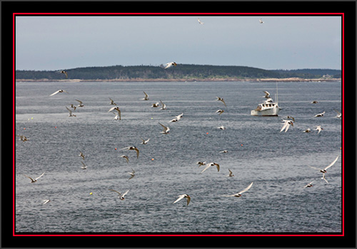 Terns & More Terns - Matinicus Rock