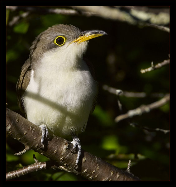 Yellow-billed Cuckoo at the Ice Pond