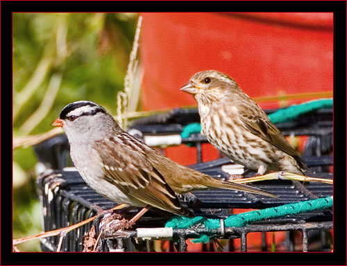 White-crowned Sparrows