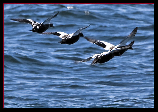 Common Eiders Flying in the harbor