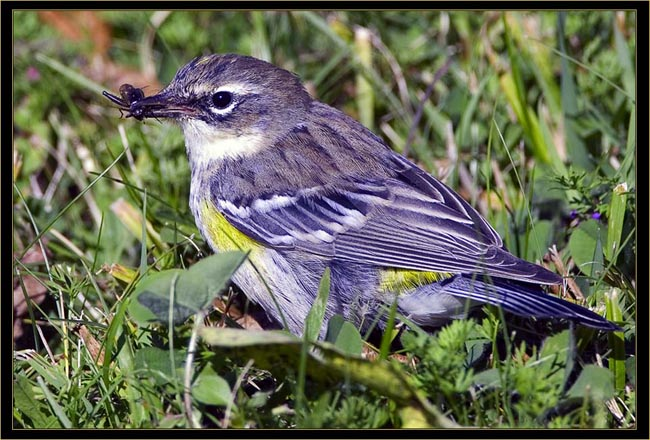 Yellow-rumped Warbler with a cricket