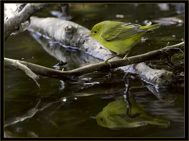 Wilson's Warbler reflected on the Ice Pond