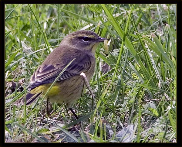 Palm Warbler with catch
