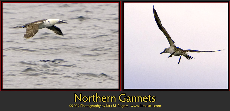 Northern Gannet photographs from the outward passage