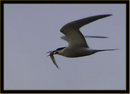 Common Tern with Catch