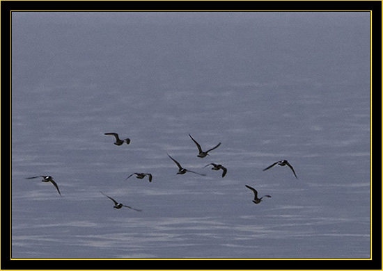 Short-billed Dowitcher flight