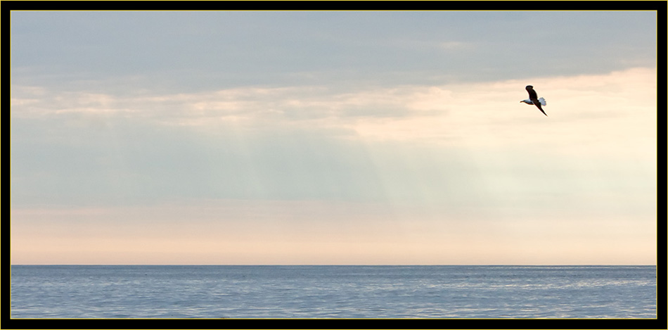 Great Black-backed Gull & Sunrays