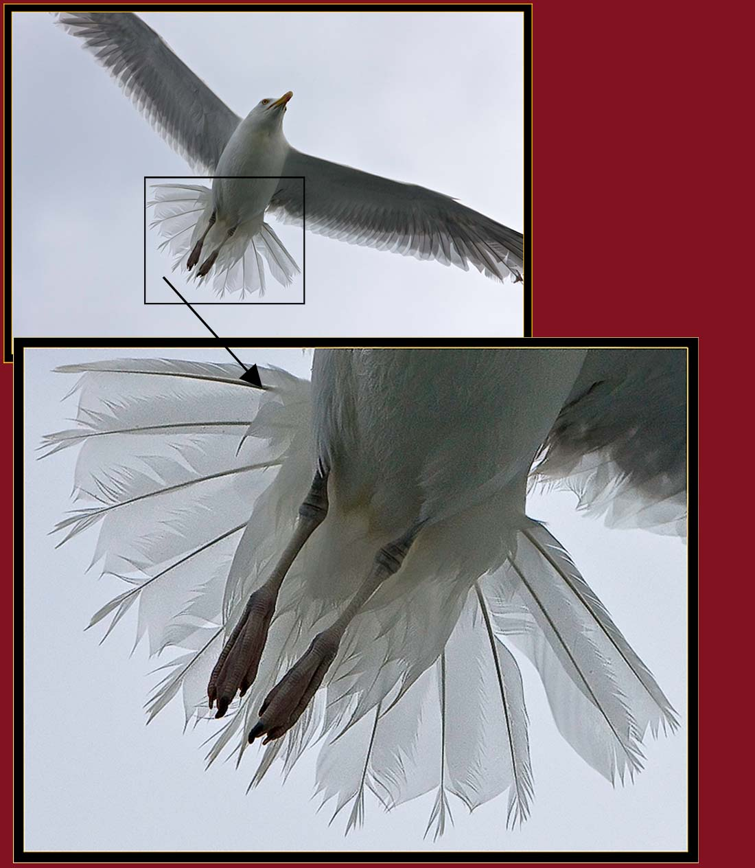 Herring Gull demonstration