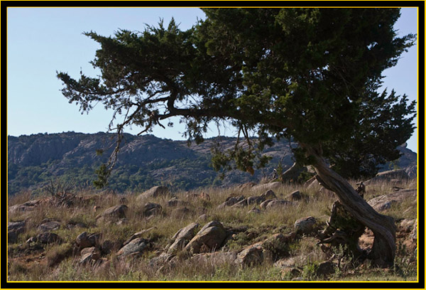 Gnarled Tree - Wichita Mountains Wildlife Refuge