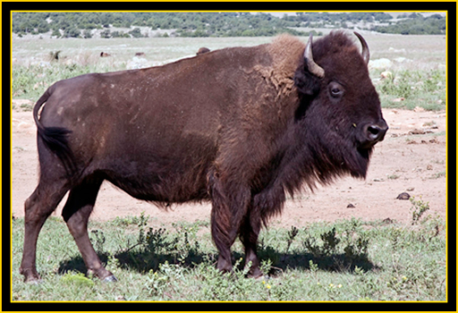American Bison - Wichita Mountains Wildlife Refuge