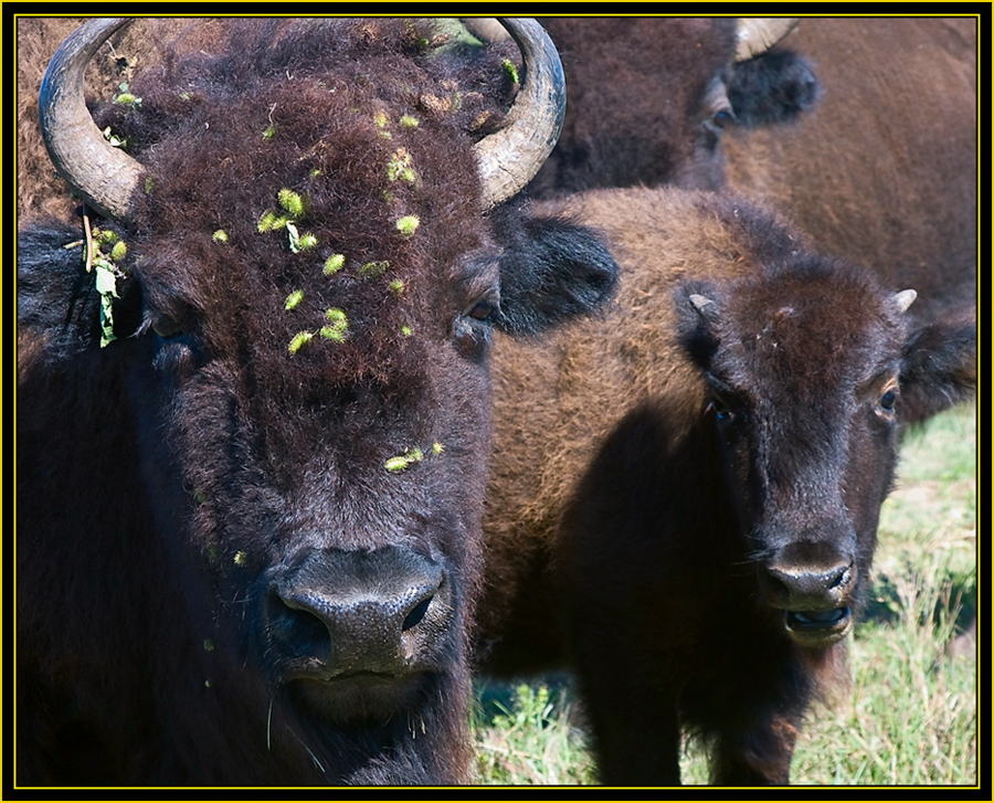 American Bison with Young - Wichita Mountains Wildlife Refuge
