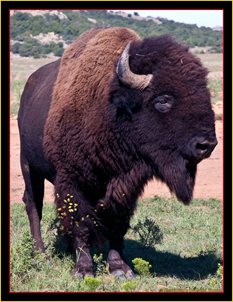 American Bison in Oklahoma