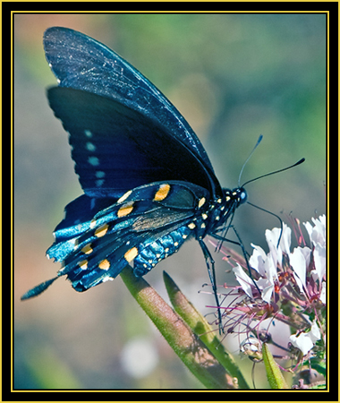 Red-Spotted Purple (Limenitis arthemis) - Wichita Mountains Wildlife Refuge