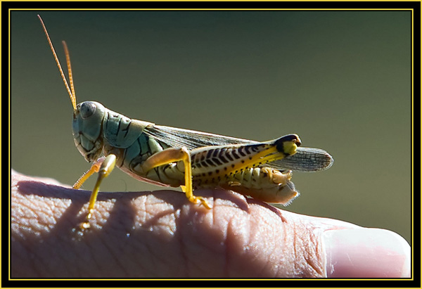 Rob's 'Catch of the Day' - Differential Grasshopper - Wichita Mountains Wildlife Refuge'