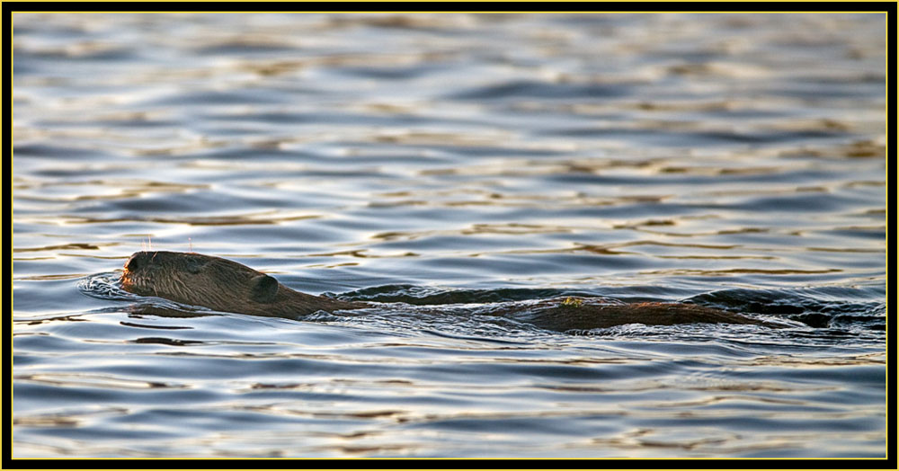 Swimming Beaver - Wichita Mountains Wildlife Refuge