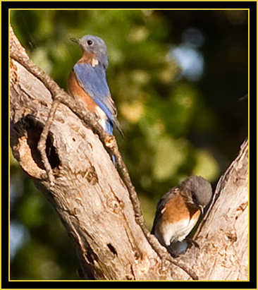 Eastern Bluebirds - Wichita Mountains Wildlife Refuge