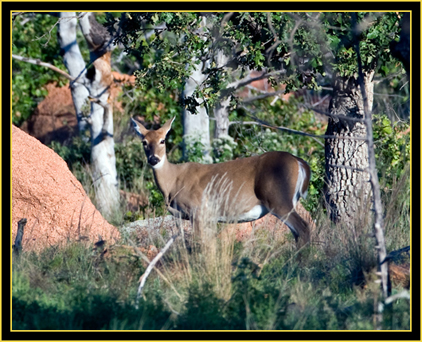 White-tailed Deer - Wichita Mountains Wildlife Refuge