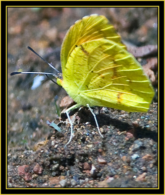 Butterfly in the Sulphur family - Wichita Mountains Wildlife Refuge