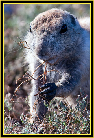 Black-tailed Prairie Dog - Wichita Mountains Wildlife Refuge