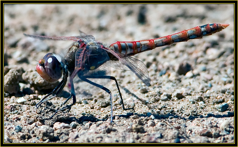 Grounded Variegated Meadowhawk (Sympetrum corruptum) - Wichita Mountains Wildlife Refuge