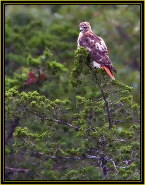 Red-tailed Hawk at Twilight - Wichita Mountains Wildlife Refuge'