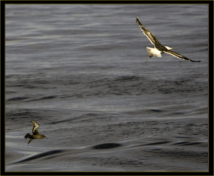 Sooty Shearwater & Black-backed Gull