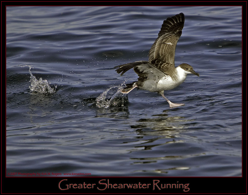 Greater Shearwater in Motion