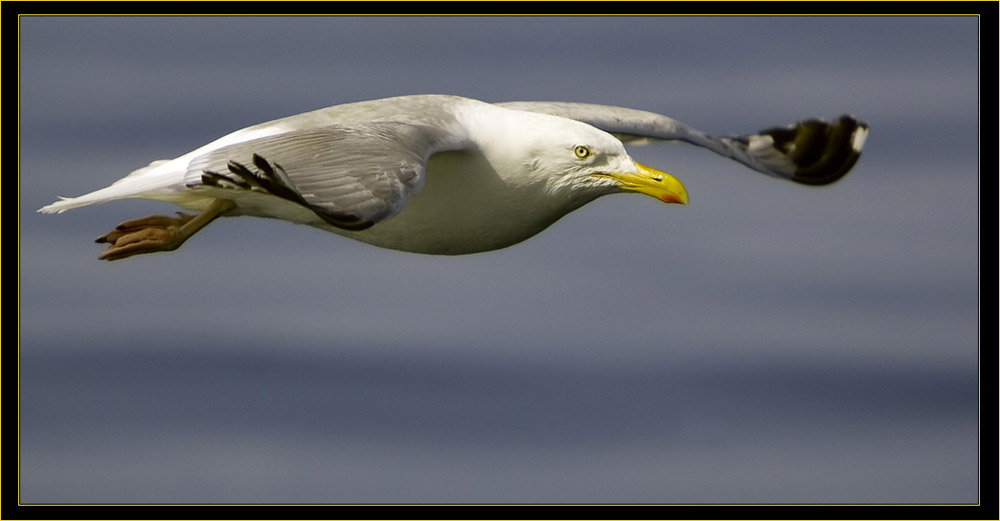 A Herring Gull Paralleling Odyssey