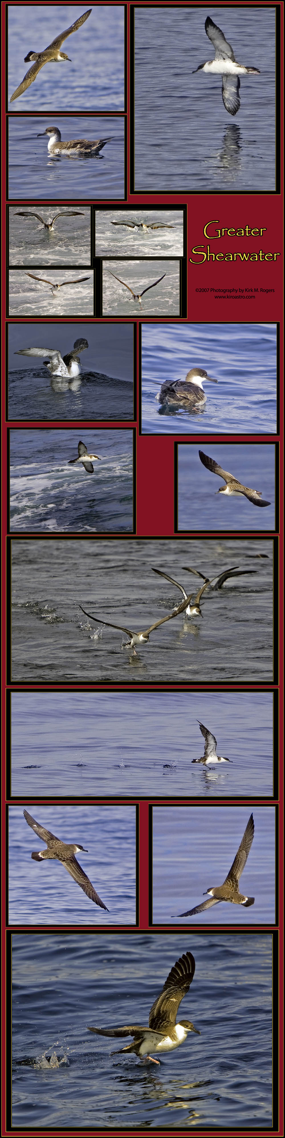 Greater Shearwater Image Template