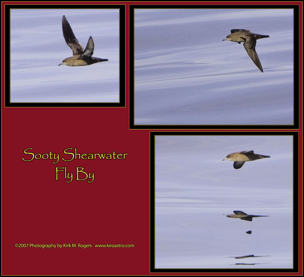 Sooty Shearwater Fly By