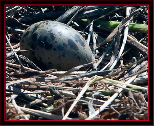 Common Tern Egg - Maine Coastal Islands National Wildlife Refuge
