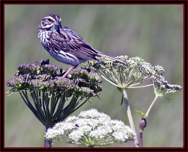 Savannah Sparrow - Maine Coastal Islands National Wildlife Refuge