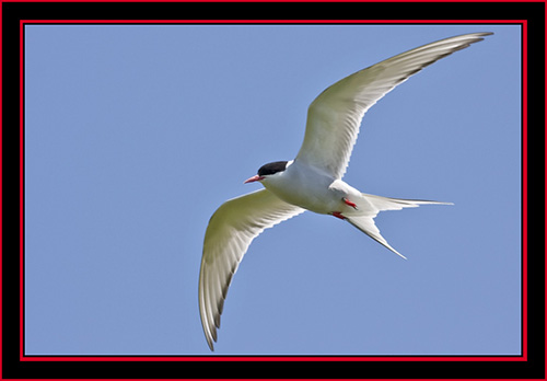 Arctic Tern in Flight - Maine Coastal Islands National Wildlife Refuge