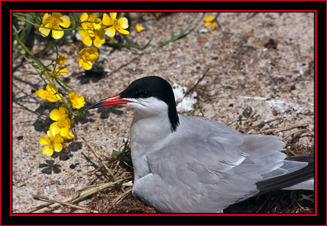 Common Tern on Nest - Maine Coastal Islands National Wildlife Refuge