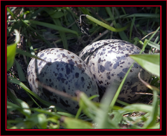 Arctic Tern Eggs- Maine Coastal Islands National Wildlife Refuge