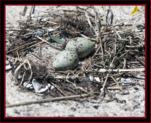 Common Tern Eggs - Maine Coastal Islands National Wildlife Refuge