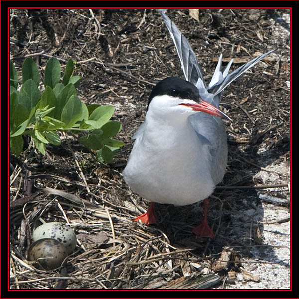 Common Tern Nest - Maine Coastal Islands National Wildlife Refuge
