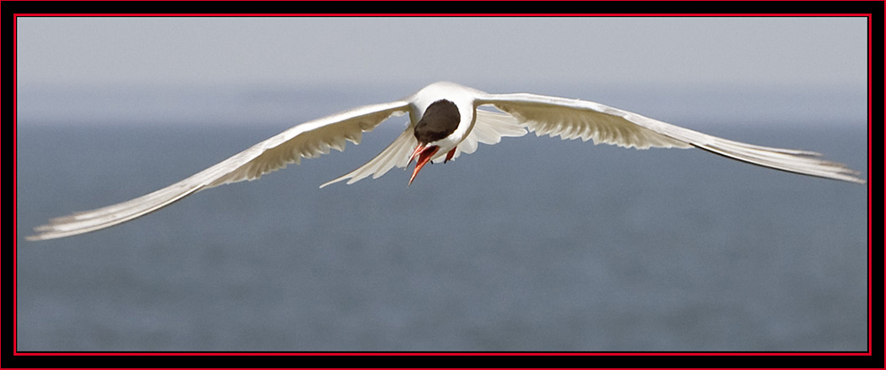 Common Tern in Flight - Maine Coastal Islands National Wildlife Refuge