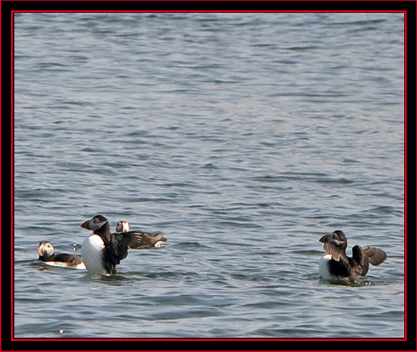 Atlantic Puffins - Maine Coastal Islands National Wildlife Refuge