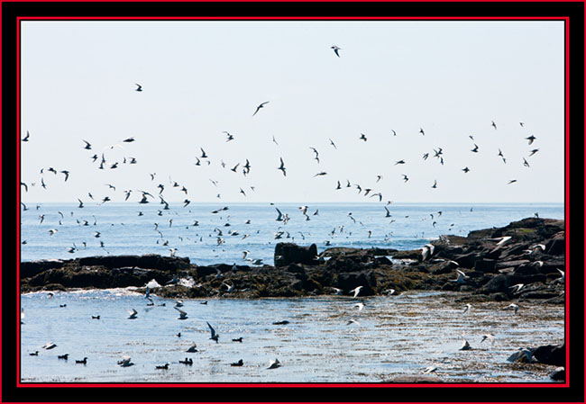 Seabirds Around PMI - Maine Coastal Islands National Wildlife Refuge