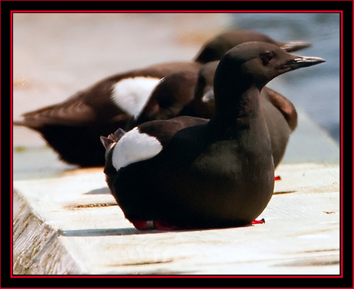 Black Guillemot - Maine Coastal Islands National Wildlife Refuge