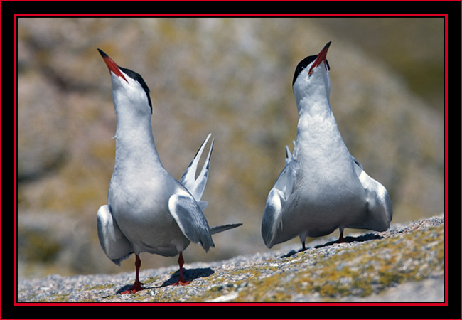 Common Tern Courtship Display - Maine Coastal Islands National Wildlife Refuge