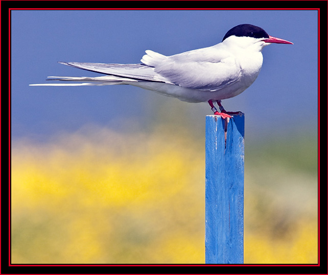 Arctic Tern - Blue Sky Above, Flowers Below - Maine Coastal Islands National Wildlife Refuge