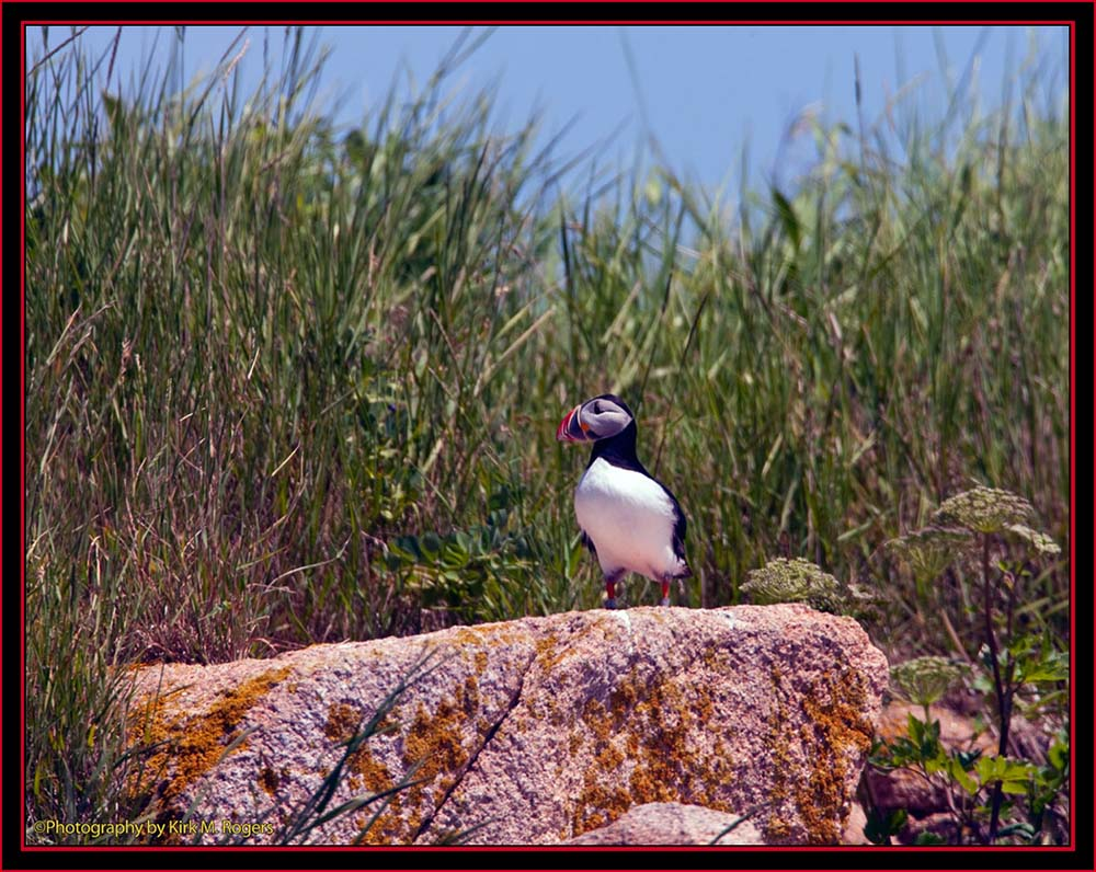 Atlantic Puffin - Maine Coastal Islands National Wildlife Refuge