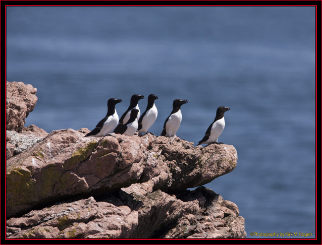 Razorbill Group - Maine Coastal Islands National Wildlife Refuge