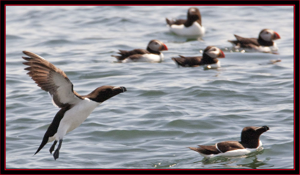 Razorbills & Atlantic Puffins - Maine Coastal Islands National Wildlife Refuge