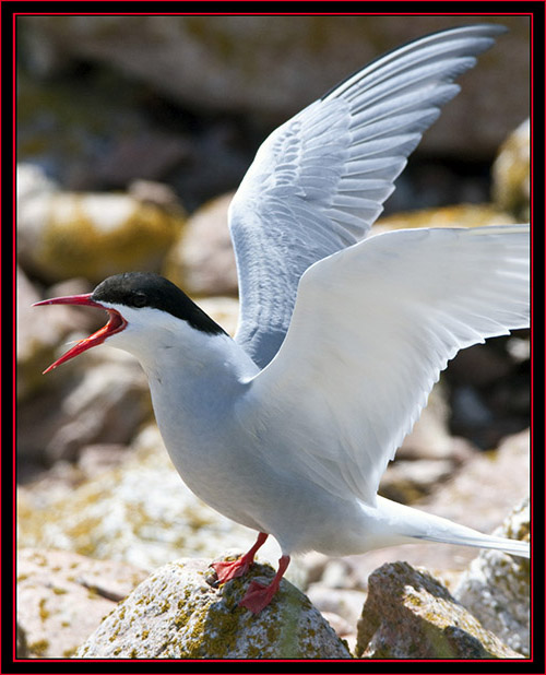Arctic Tern - Maine Coastal Islands National Wildlife Refuge