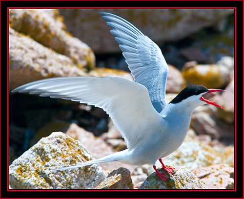 Common Tern - Maine Coastal Islands National Wildlife Refuge