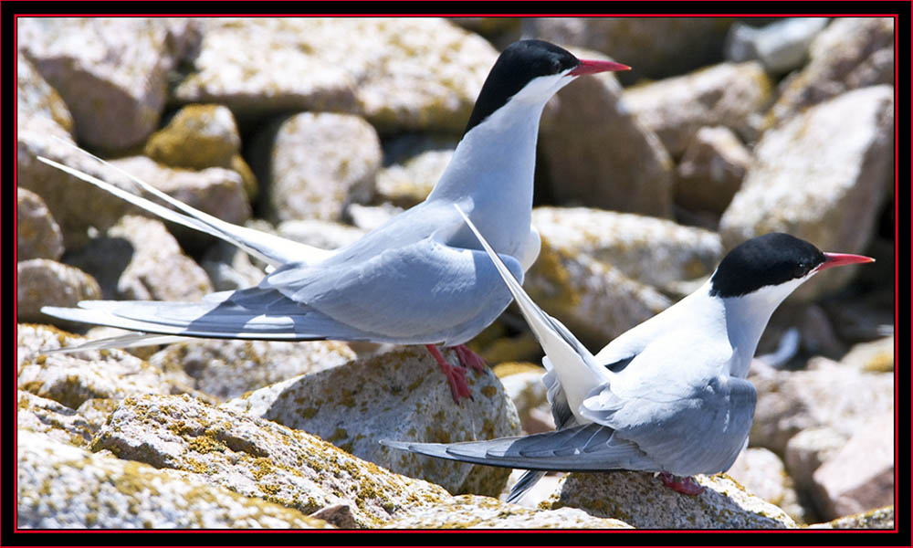 Arctic Tern Pair - Maine Coastal Islands National Wildlife Refuge