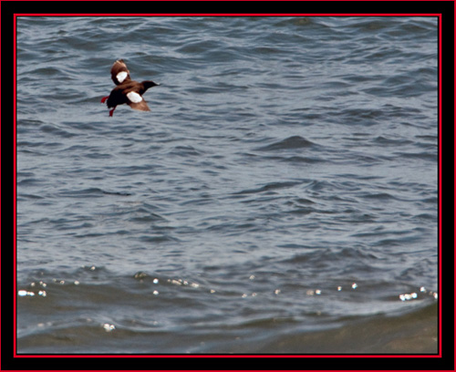 Black Guillemot in Flight - Maine Coastal Islands National Wildlife Refuge